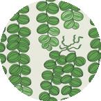 Celotocaulis Green